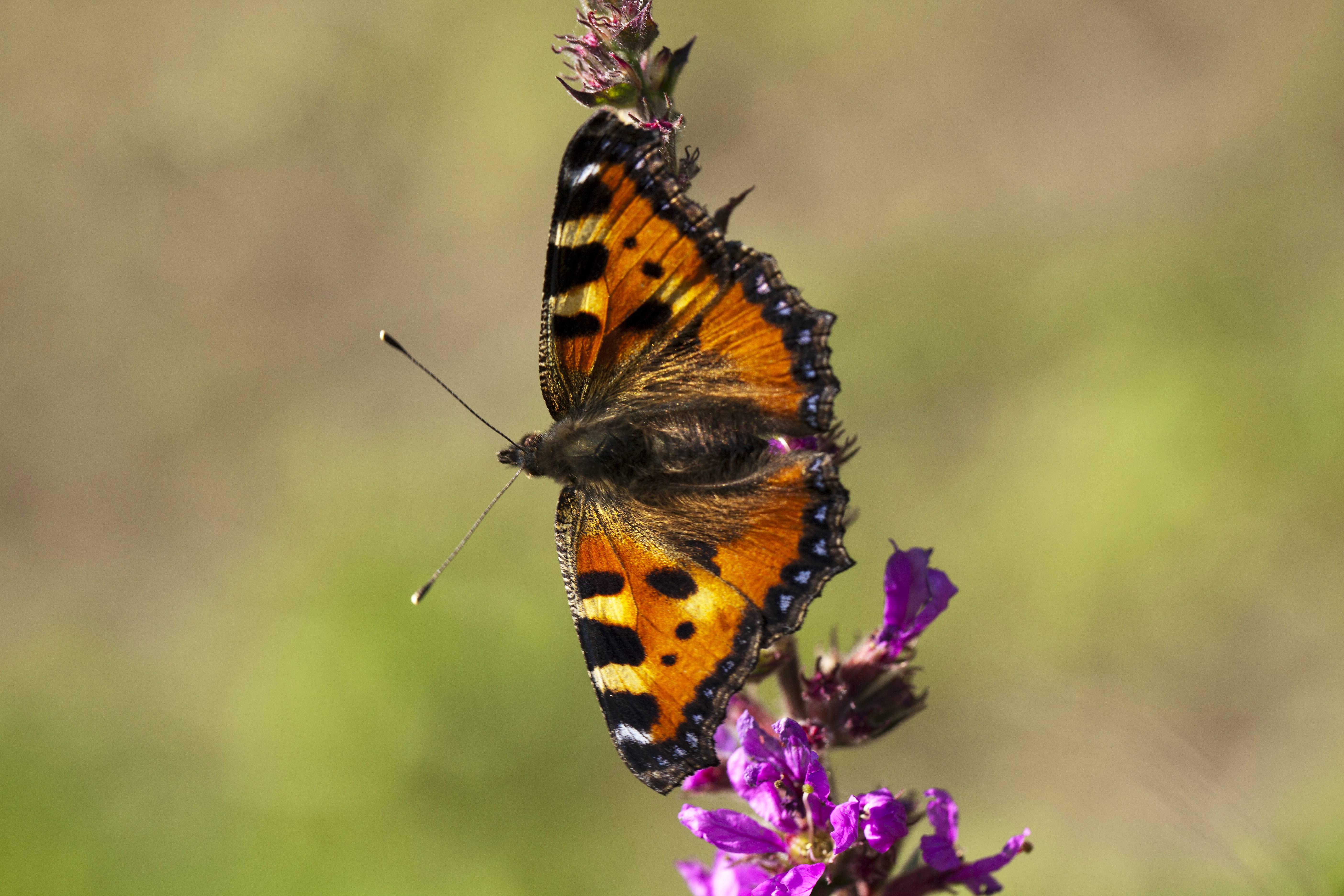 Hoeveel vlinders tel jij in je tuin?